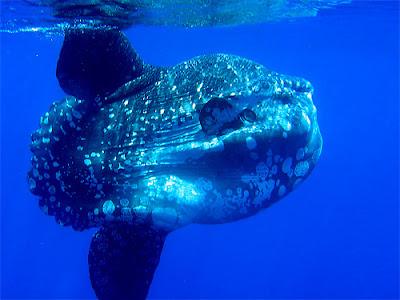 Рыба-луна - самая большая костная рыба в мире.  Достигает в длину 3-х м...