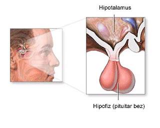 Hipofiz Bezi Pitüiter Bez