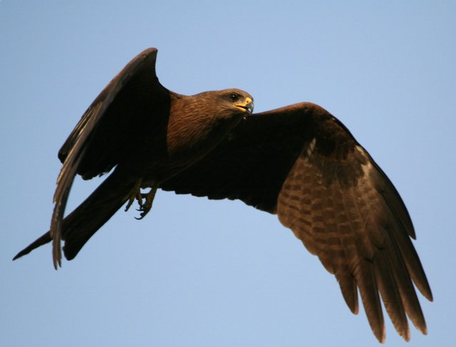 Indian kite bird - photo#10
