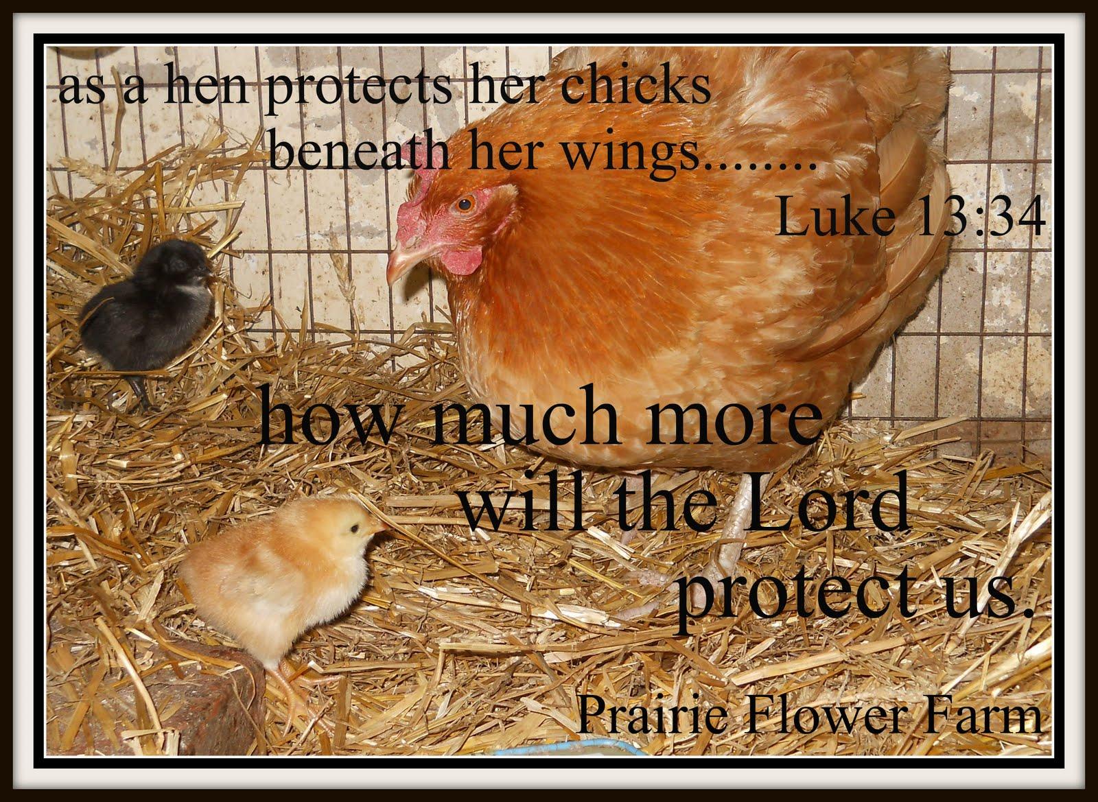 Good Morning Sunday Chicken : Prairie flower farm august
