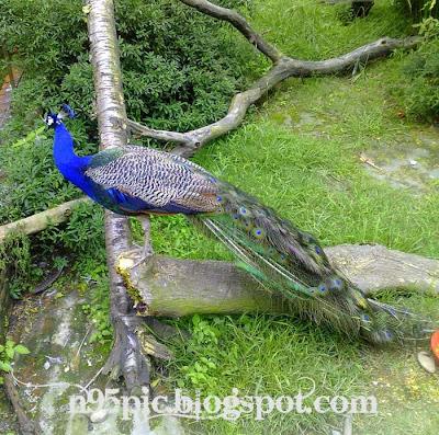 the peacock mayaur