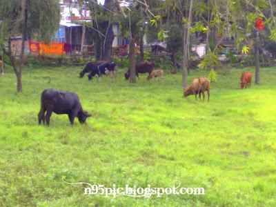 cows in pashupatinath