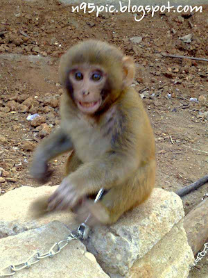 A cute baby monkey,baby monkey,monkey entertainment,monkey in danger