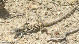 Triploid Checkered Whiptail
