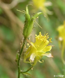 Aquilegia chrysantha var. rydbergii