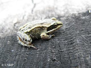 juvenile wood frog