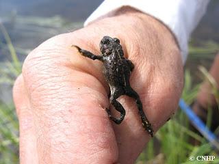 juvenile boreal toad