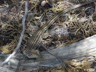 Aspidoscelis neotesselata on the ground