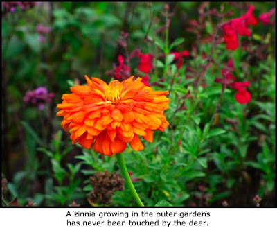 Defining Your Home Garden And Travel Are Zinnias Deer