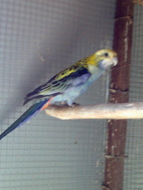 rosela azul