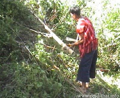 การตัดต้นไผ่ปวาเกอญอ
