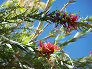 Weeping Bottle Brush Tree, callistemon viminalis