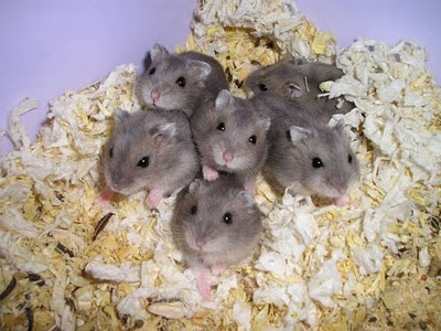 Hamsters Hams_06