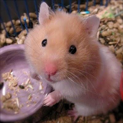 Hamsters Hams_01