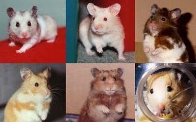 Hamsters Hams_15