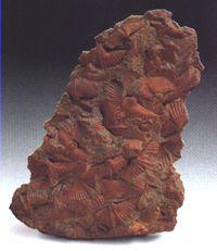 Braquiópodos fósiles Braq_04