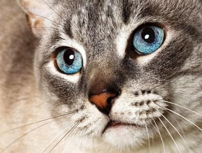 Razas de Gatos Rgat_18