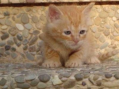 Sanidad del gatito Gato_Hemobartonelosis+Felina