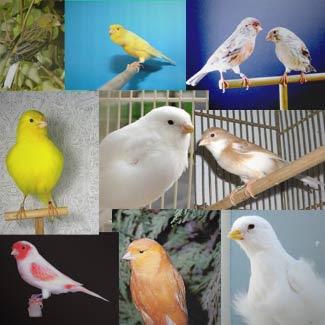 Canarios Razas-de-canarios-y-eventos
