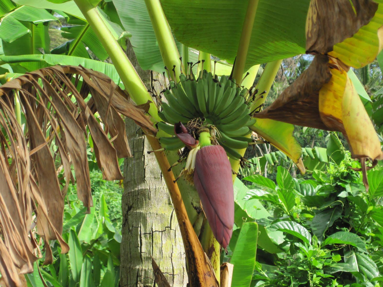 Polinesia 8 giorno tahaa l 39 isola for Albero di banane