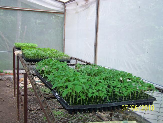 Cultivos de Chile
