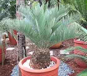 Encephalartus eugene imaraisii