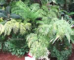 Angiopteris palmiflores