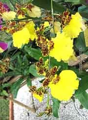 Oncidium Juihbao Gold