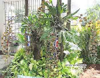 Grammatophyllum marthae