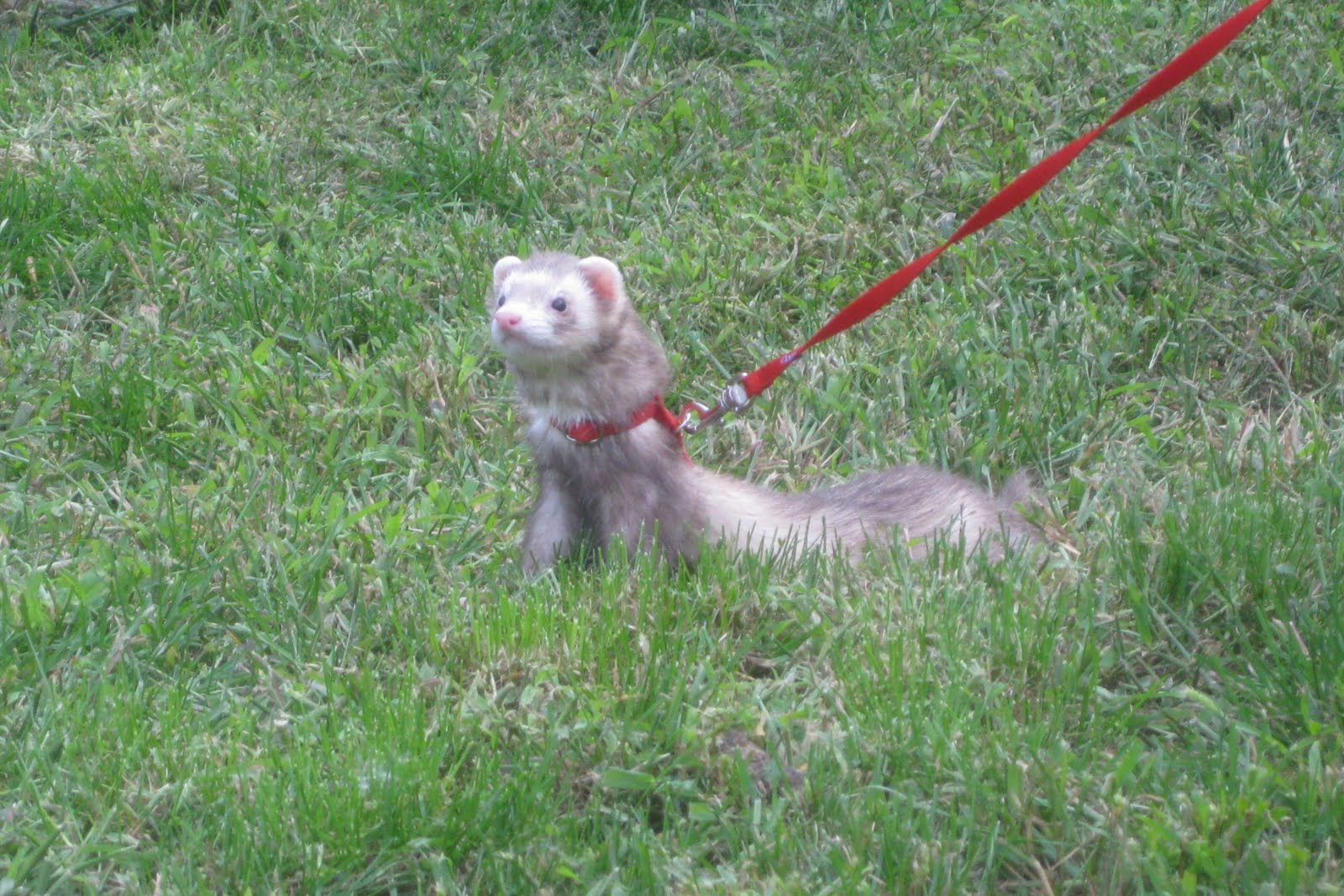 I am thinking about getting a ferret, and just need some info about them.?