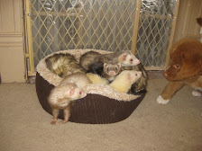 The Ferrets