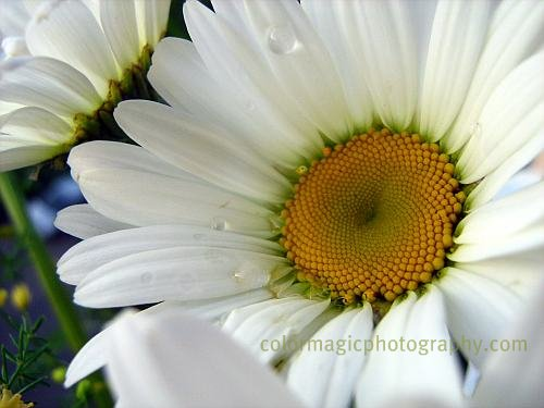 White daisy-macro photography