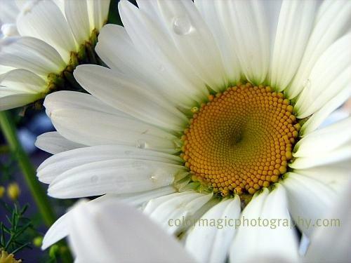 White daisy-macro photography