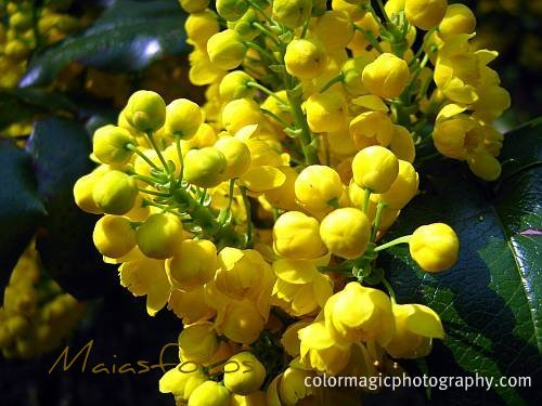 Mahonia aquifolium-Oregon grape flowers