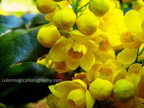 Oregon grape-Mahonia aquifolium flower macro