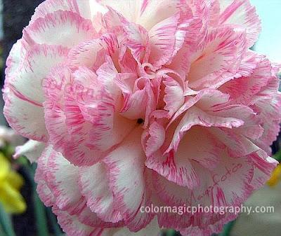 Pink carnation flower-macro