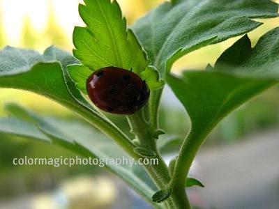 Ladybug under a leaf