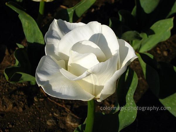 White tulip-macro