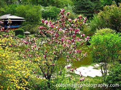 japanese magnolia tree pictures. Japanese mountain magnolia