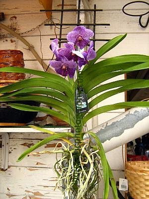 Purple hanging orchid