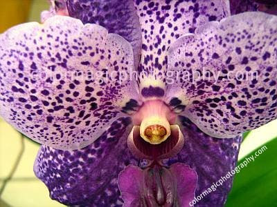 Purple hanging orchid-macro