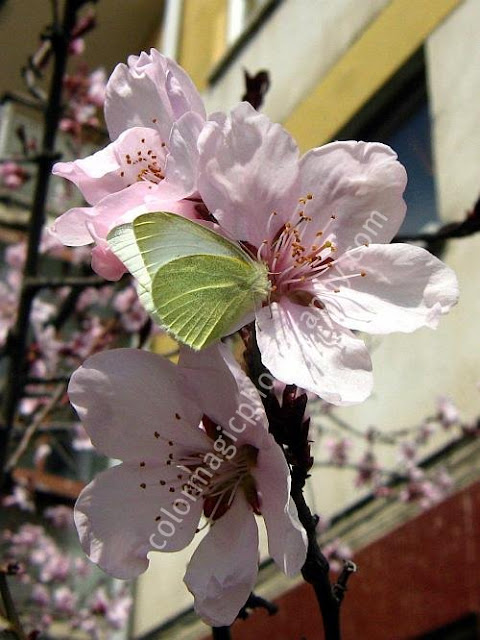 Pink cherry blossom with butterfly