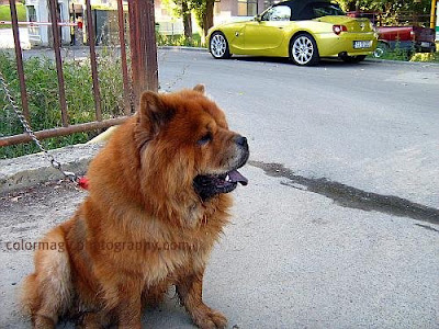 Chow Chow dog on the sidewalk