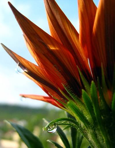Rusty gazania flower with raindrops