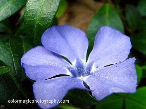 Myrtle-Lesser Periwinkle flower macro