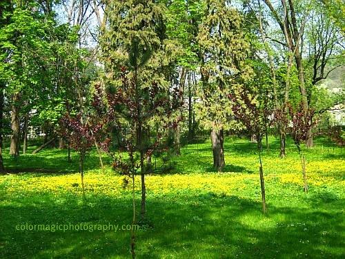 Dandelion carpet-spring scene