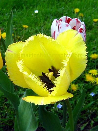 Yellow fringed tulip-macro