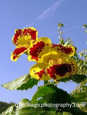 Tiger Monkey Flower - Mimulus Tigrinus