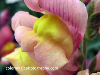 antirrhinum flower close up