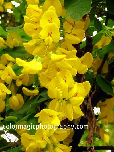 Laburnum-Golden Rain tree flowers